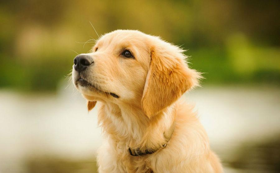 cachorro-golden-retriever-origem