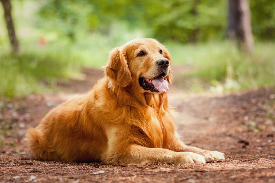 cachorro-golden-retriever-treinamento