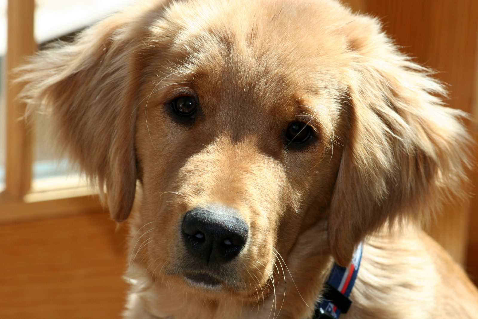 Cachorros de raça: Golden retriever filhote e sua carinha irresistível.