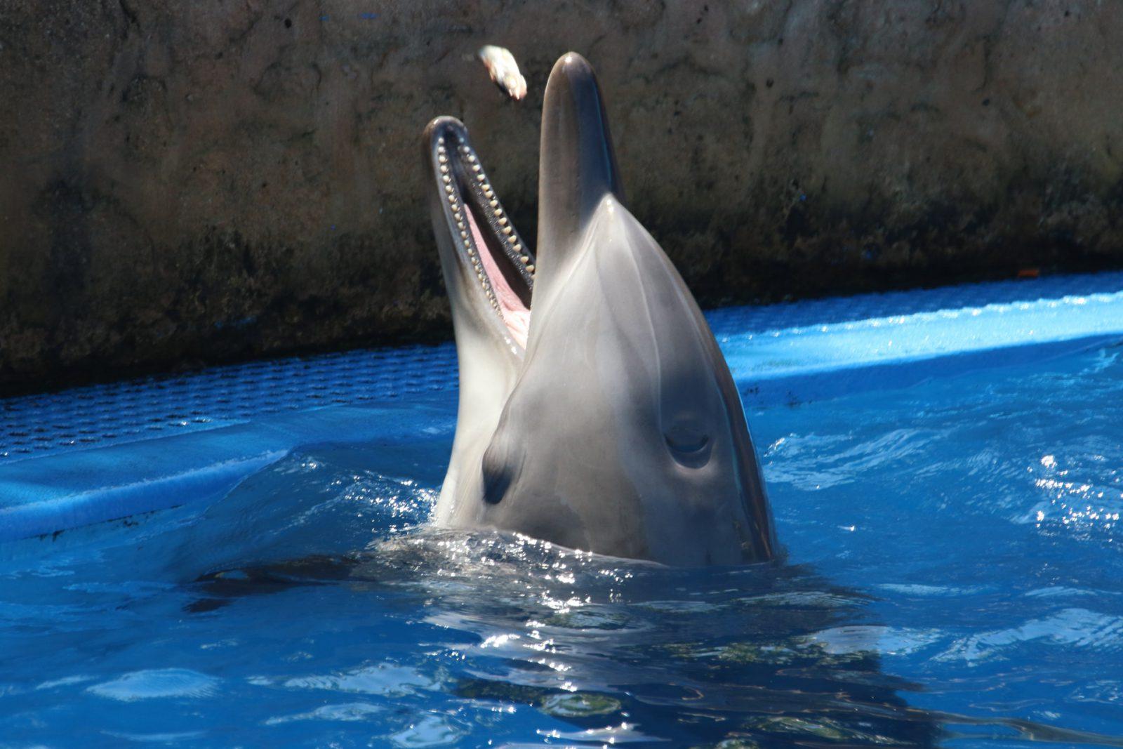 O golfinho é caçado em vários locais no mundo e está em extinção.