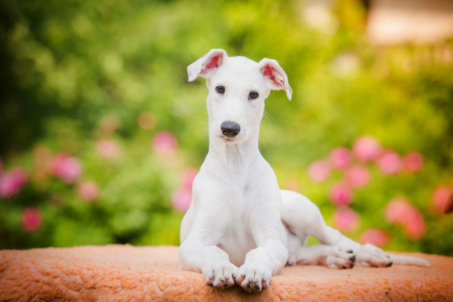 greyhound-italiano-saude