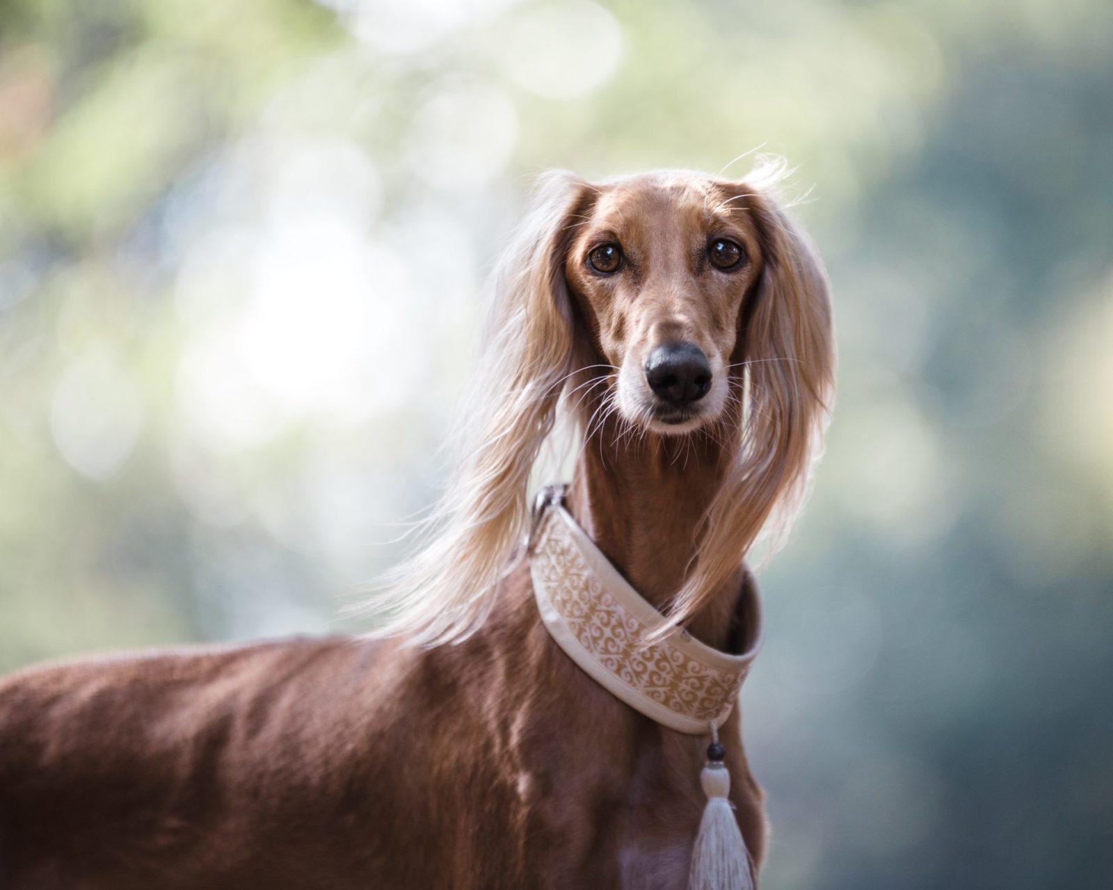 cachorro com coleira e guia