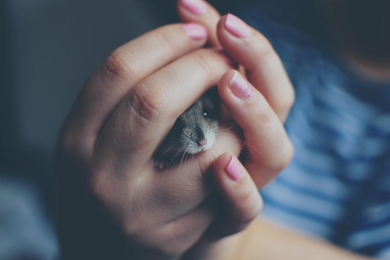O hamster é um animalzinho de estimação muito curioso.