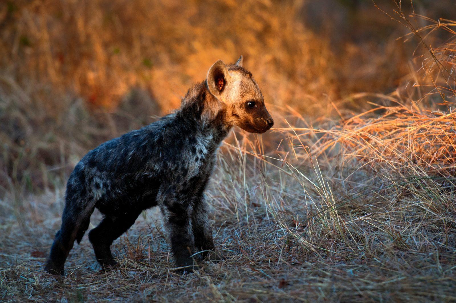 A hiena é um animal muito curioso.