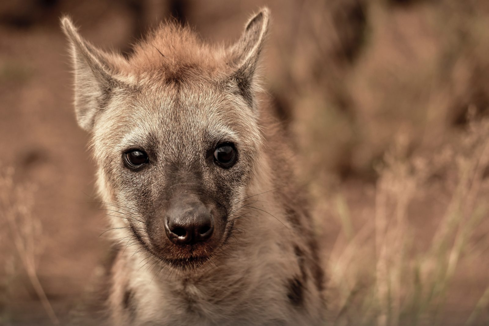 A hiena fêmea é bastante agressiva.