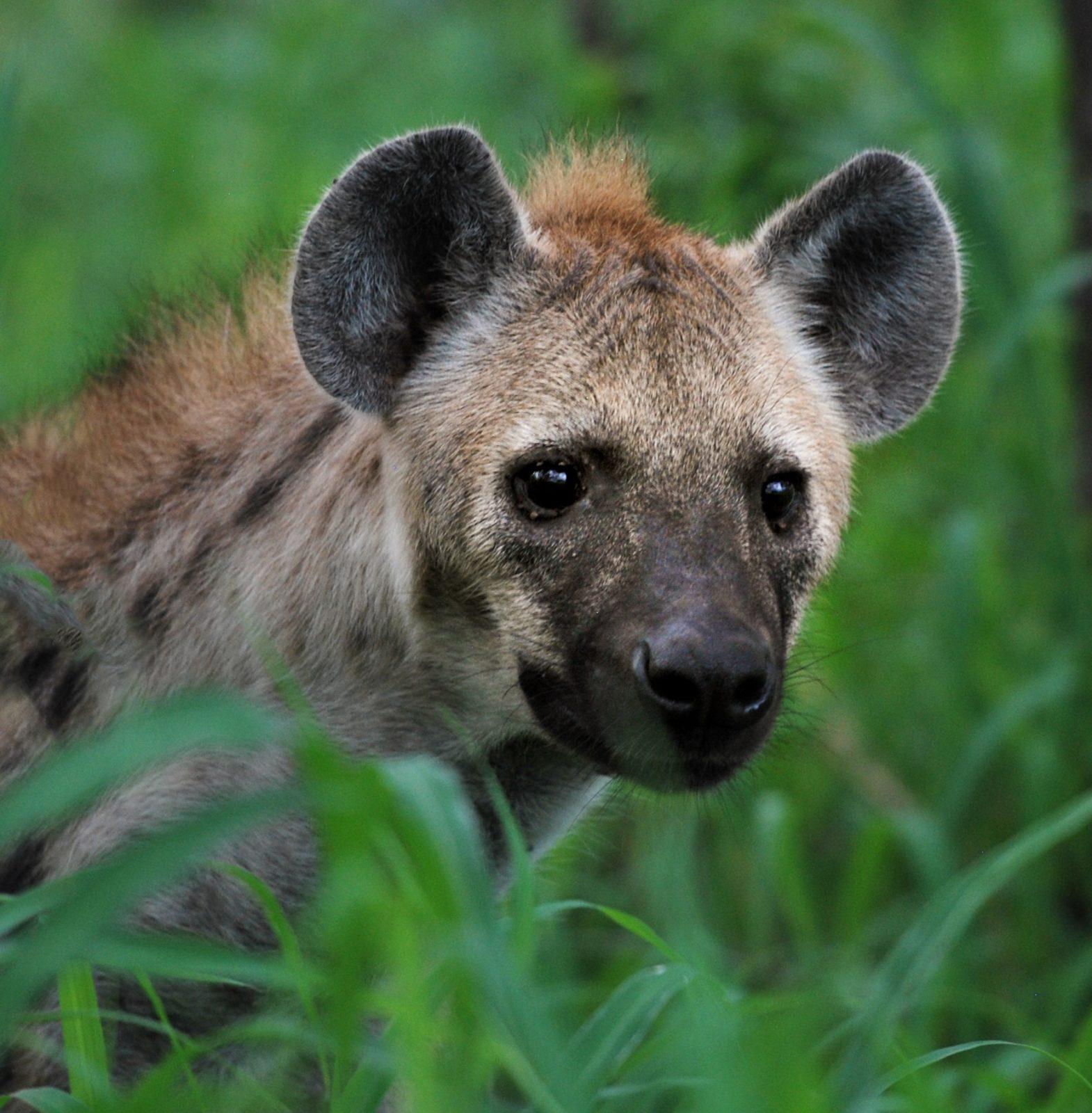hiena fêmea comanda o clã das hienas