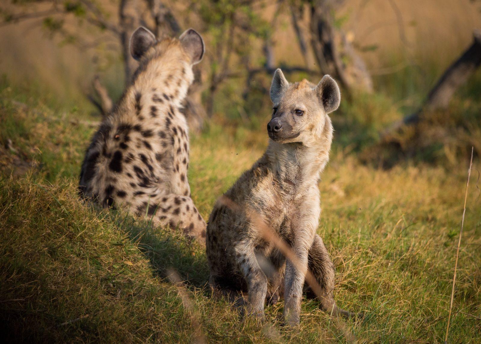 A hiena é uma naimal carnívoro e carniceiro.