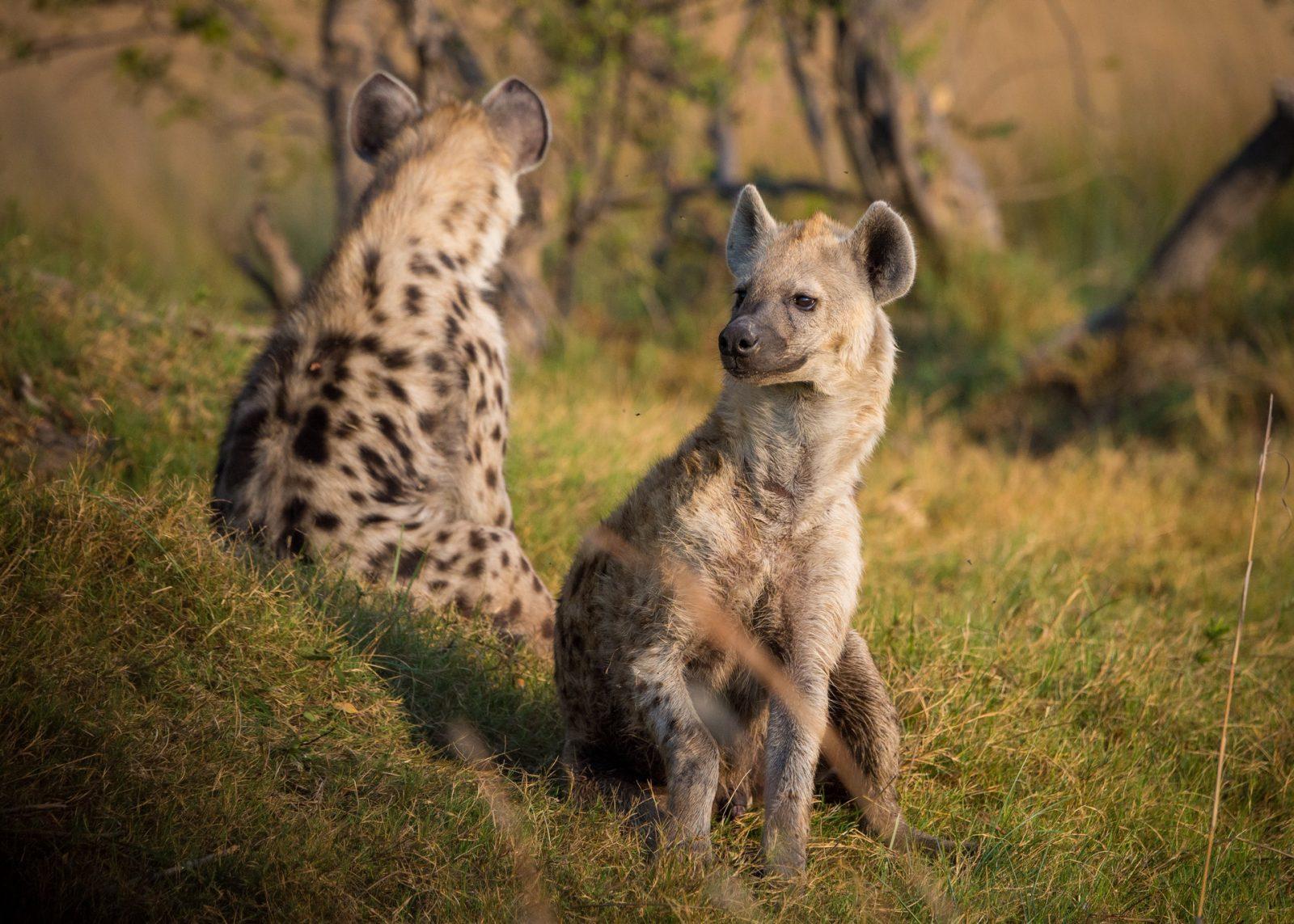 As hienas são aniamis de médio porte.