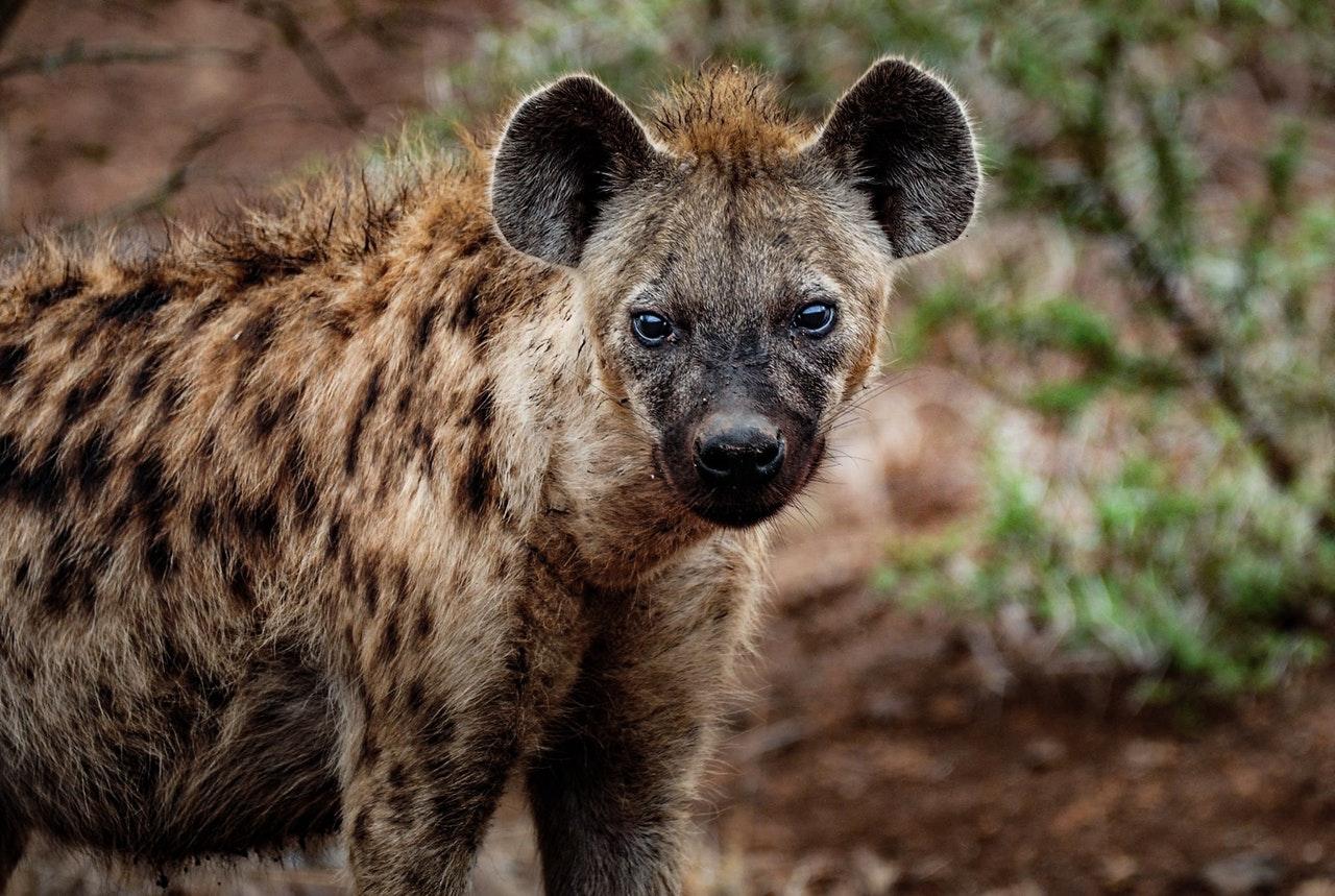 A hiena malhada é a mais conhecida das hienas.