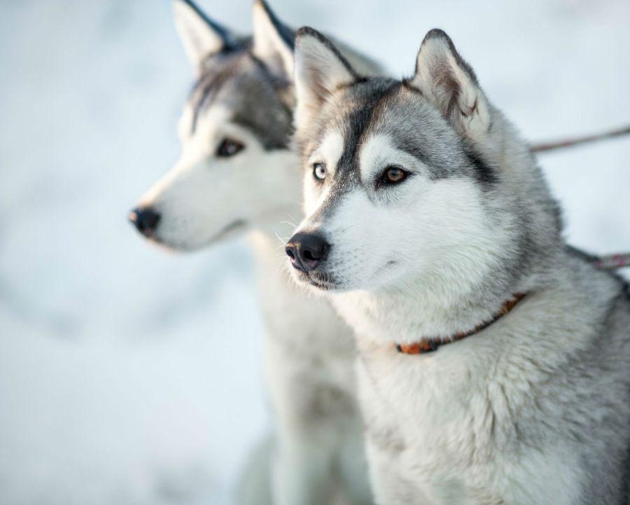 husky-siberiano-cuidados