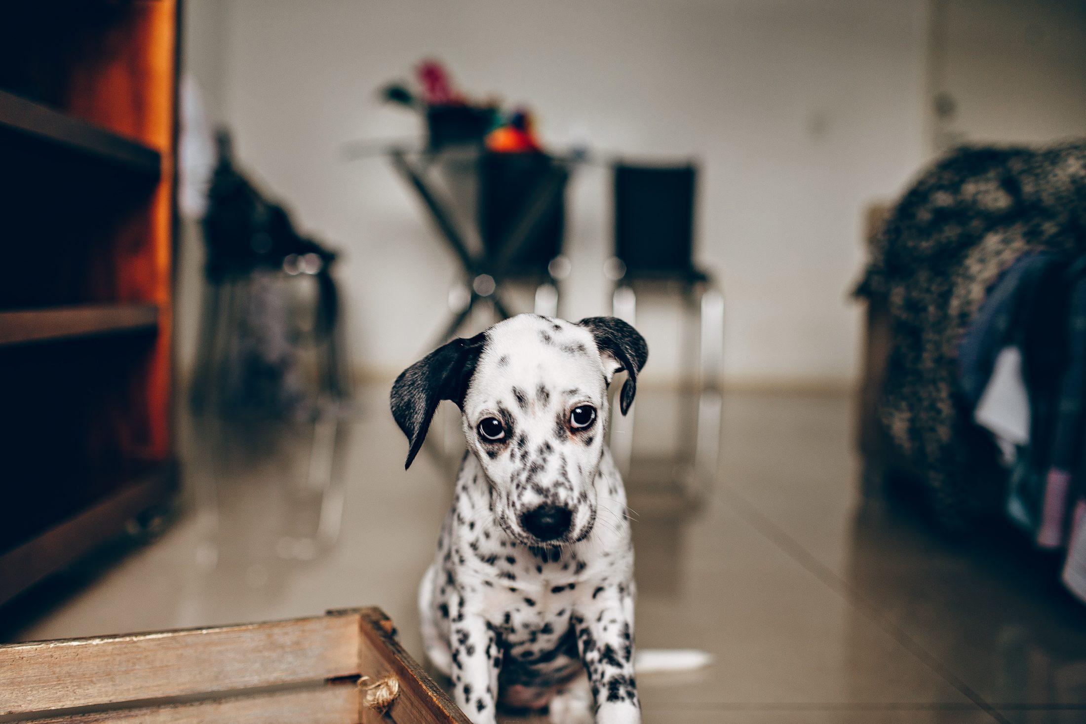 idade de cachorro dálmata