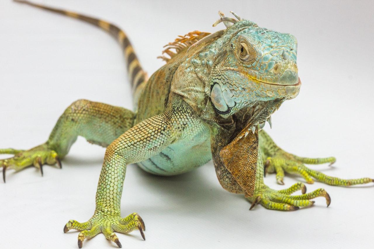 A iguana hospeda a bactéria salmonella.
