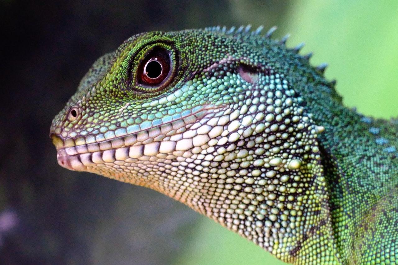 A iguana precisa de cuidados especiais.