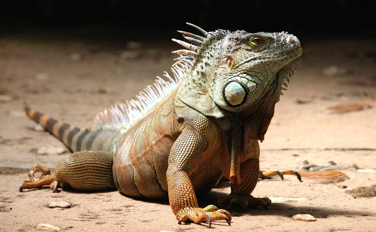 A iguana é um animal muito traficado ilegalmente.
