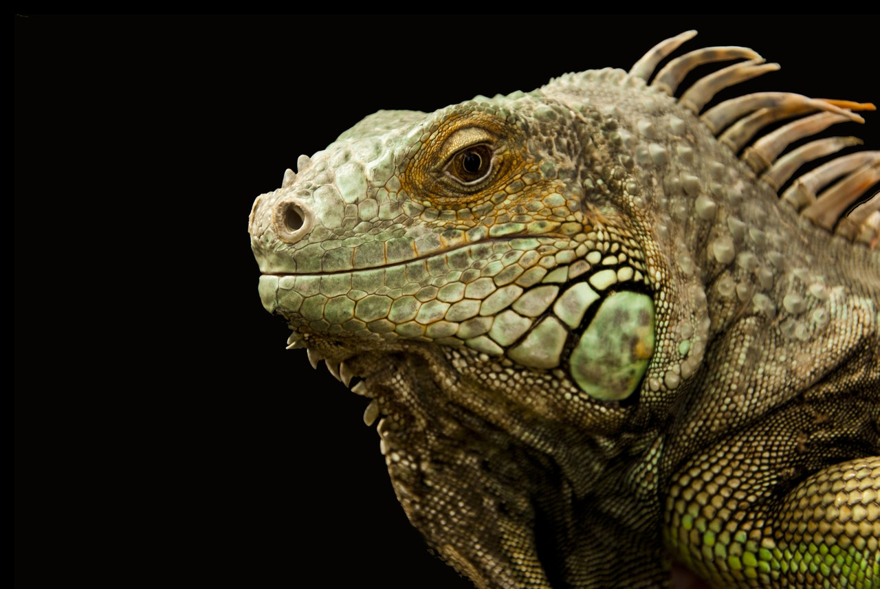 A iguana é um animal de muitas espécies.
