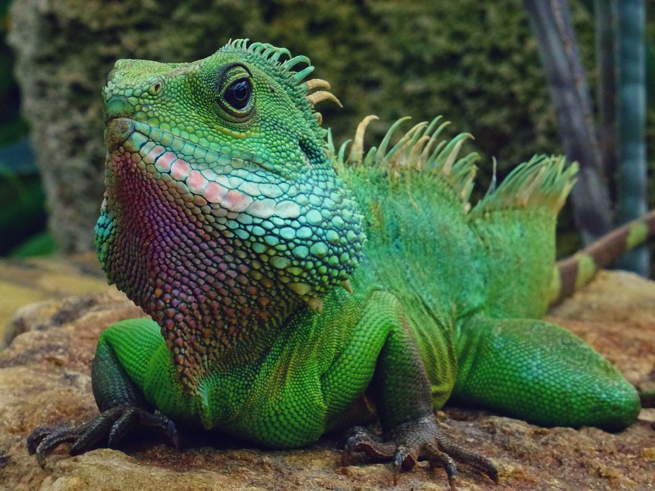 A iguana é um animal herbívoro.