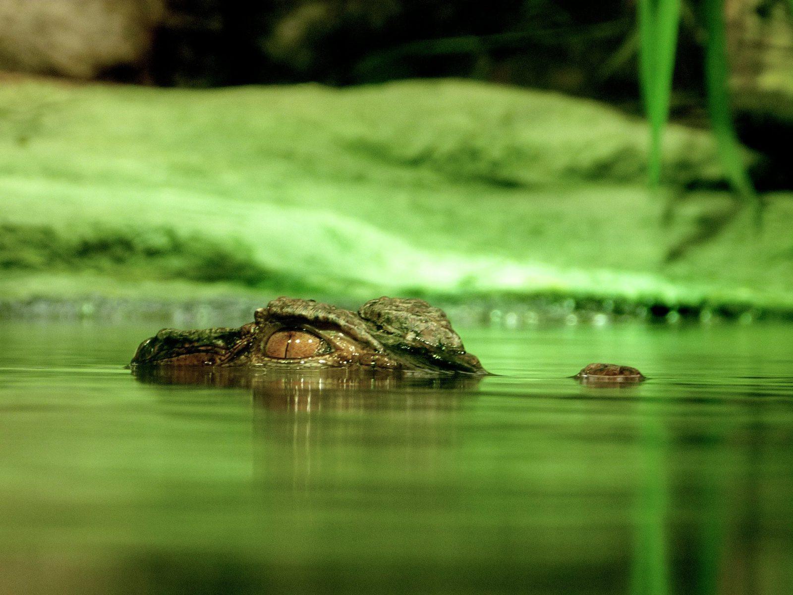 O jacaré tem grande importância ecológica e está em perigo de extinção.