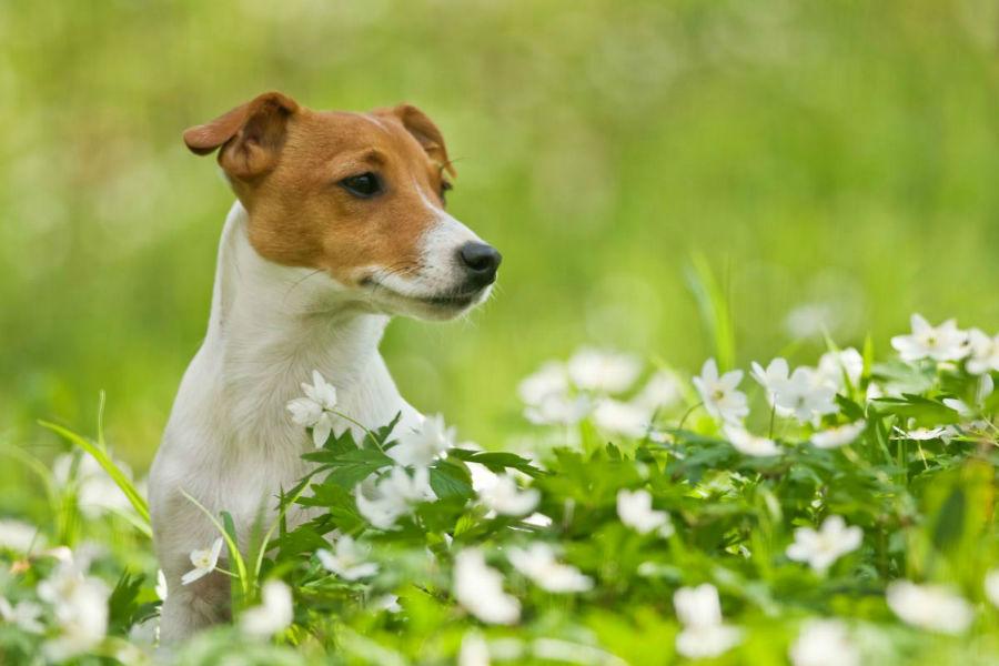 cachorro-jack-russel-saude