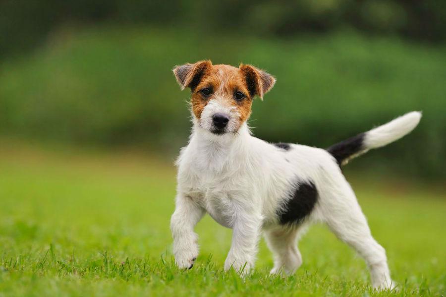 cachorro-jack-russel-temperamento