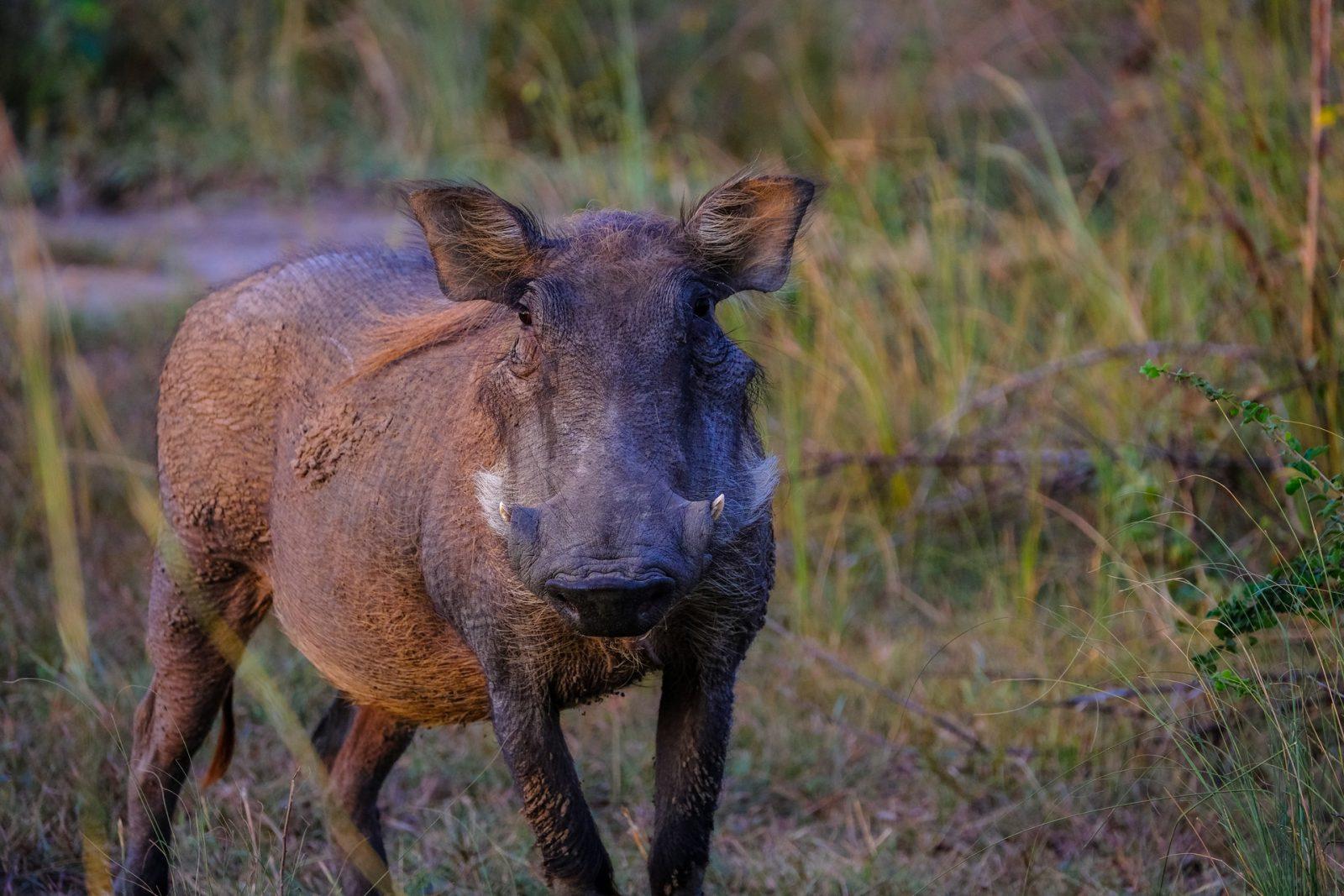 O javali se assemelha ao porco, só que com presas.