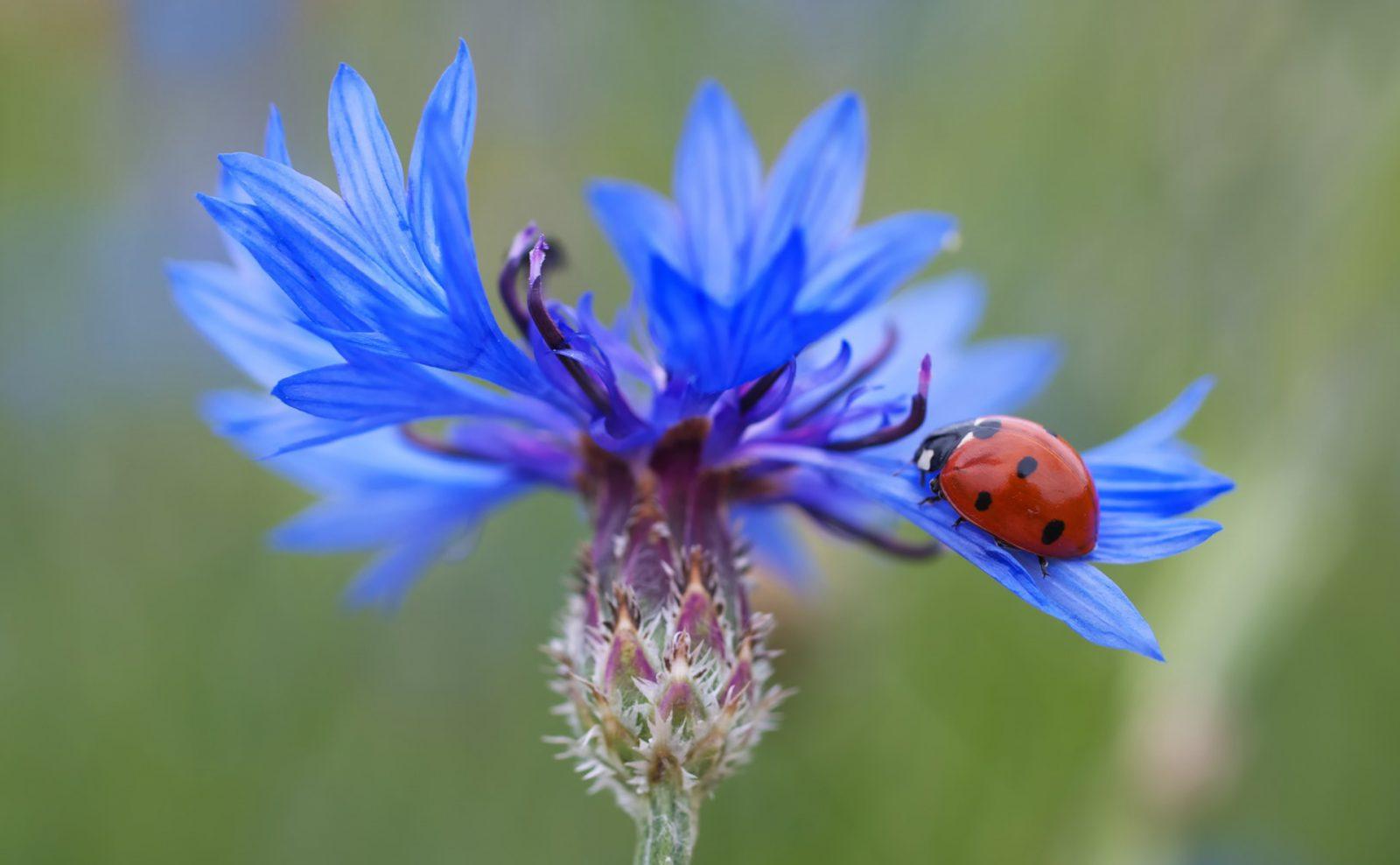 A joaninha é o inseto mensageiro de Deus.
