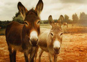 jumentos e mulas