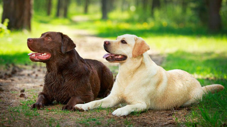 cachorro-labrador-retriever-origem