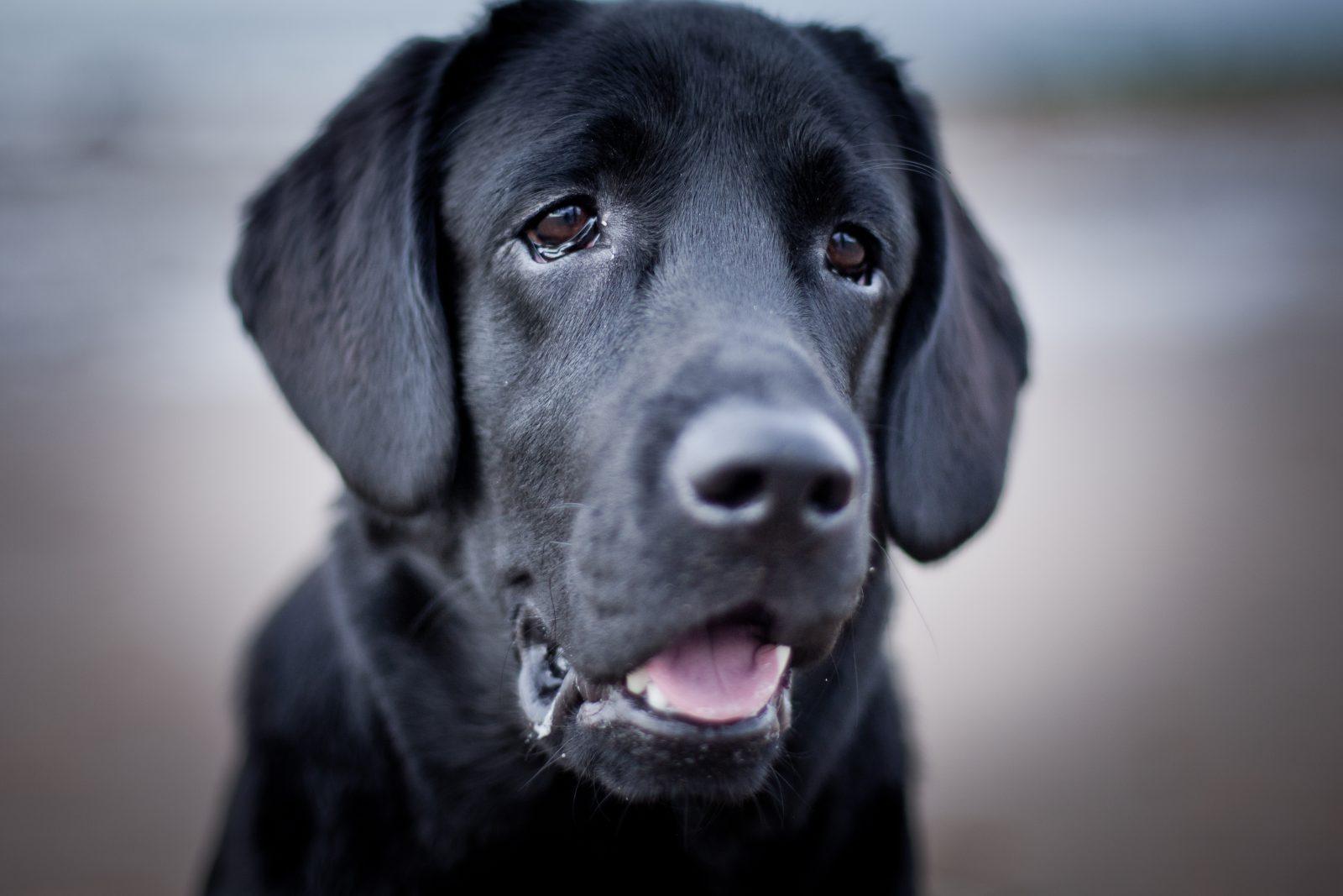 Cachorros de raça: Labrador retriever de pelagem preta.