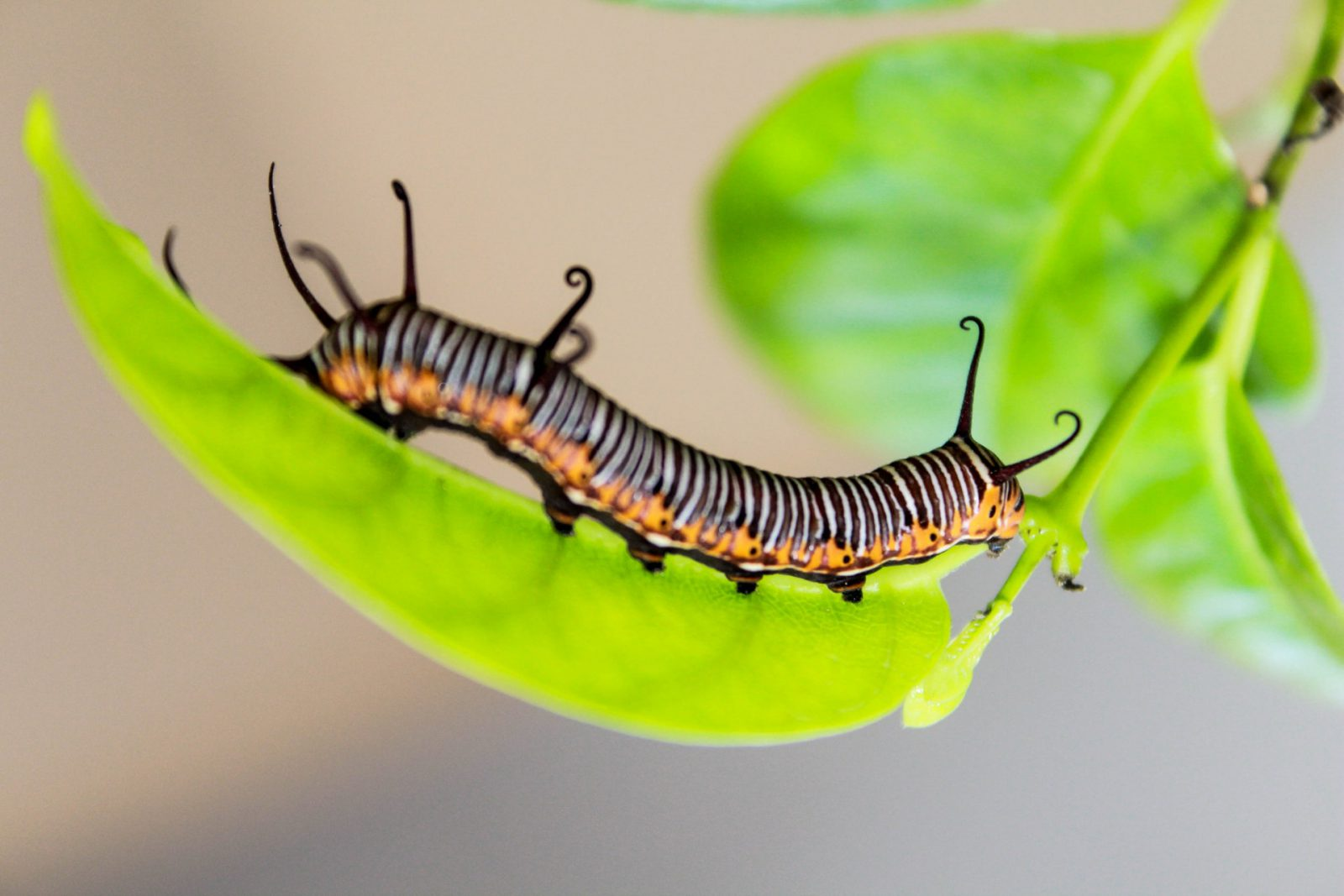 A vida da lagarta de fogo é separada por estágios.