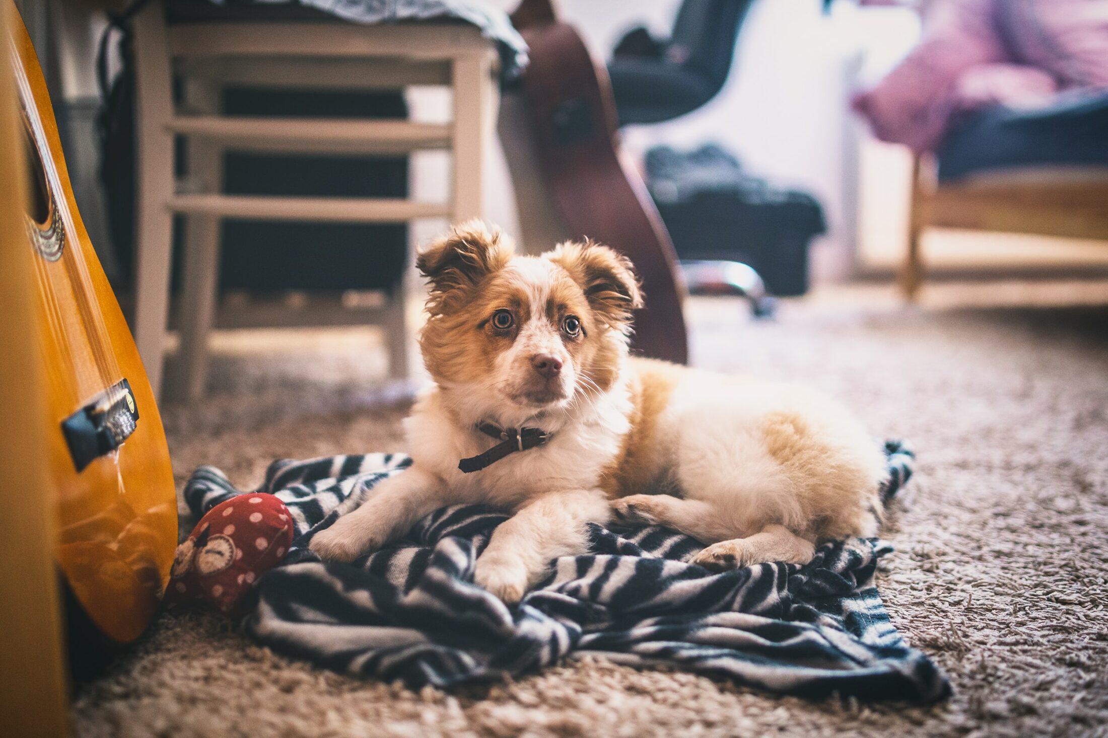 cachoror deitado na manta no chão
