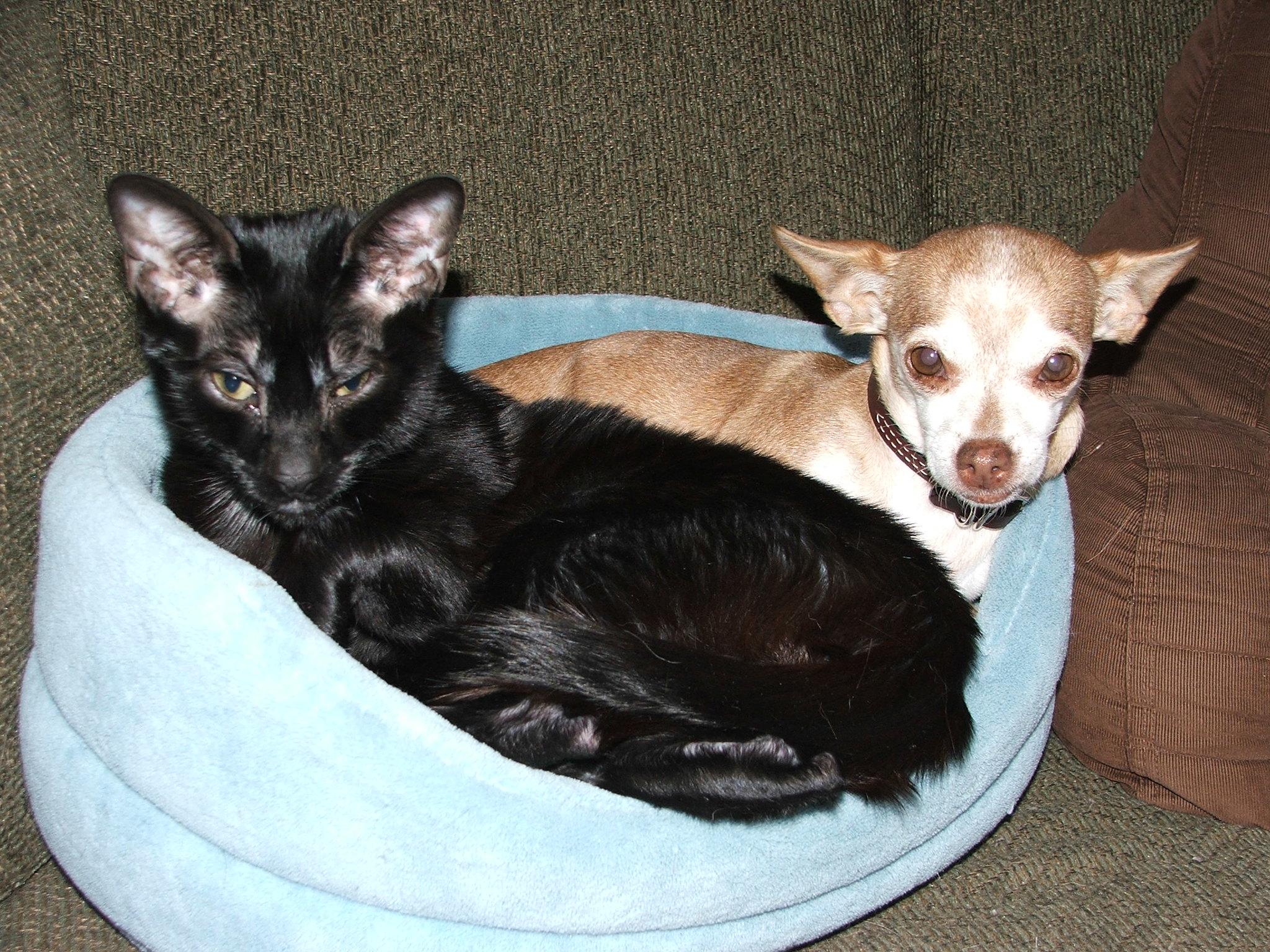 cachorro e gato juntos na mesma cama em lar muti-pet
