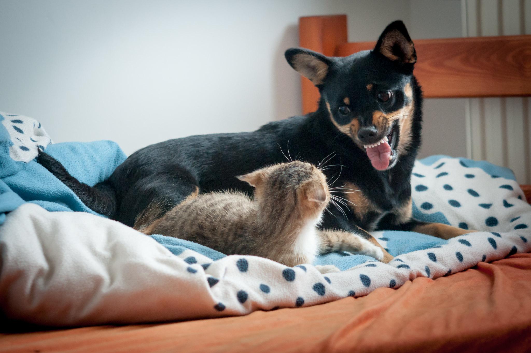 mar multi-pet com cachorro e gato brigando em cima da cama