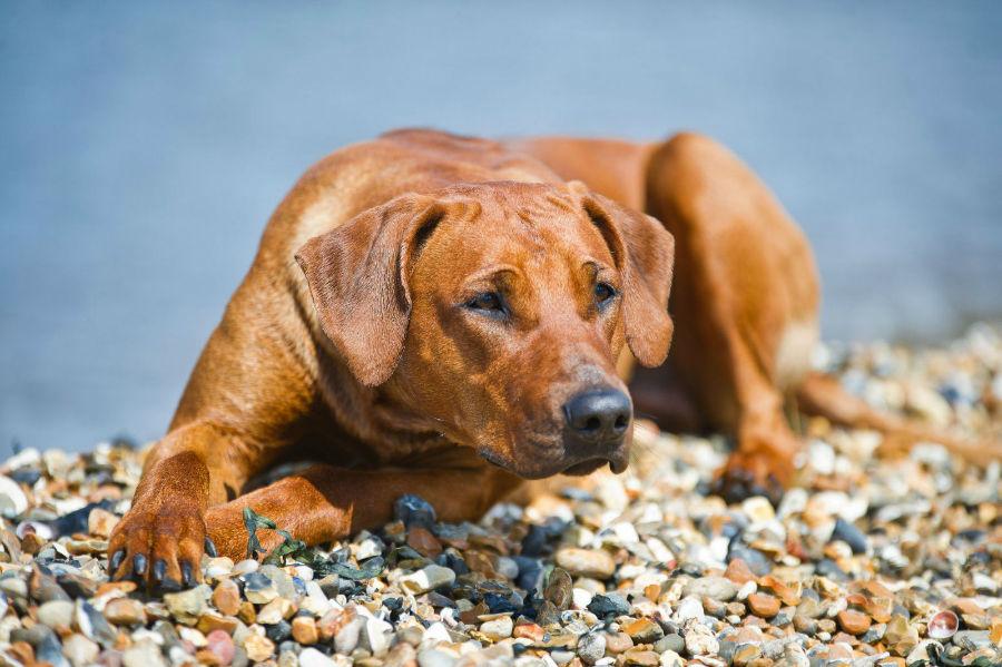 cachorro-leao-rodesia-atividades