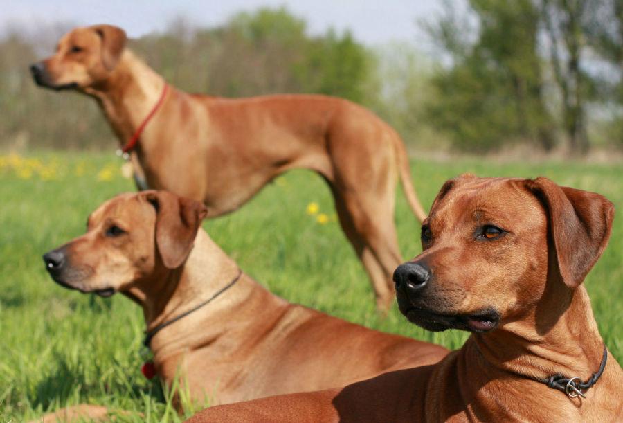 cachorro-leao-rodesia-intro