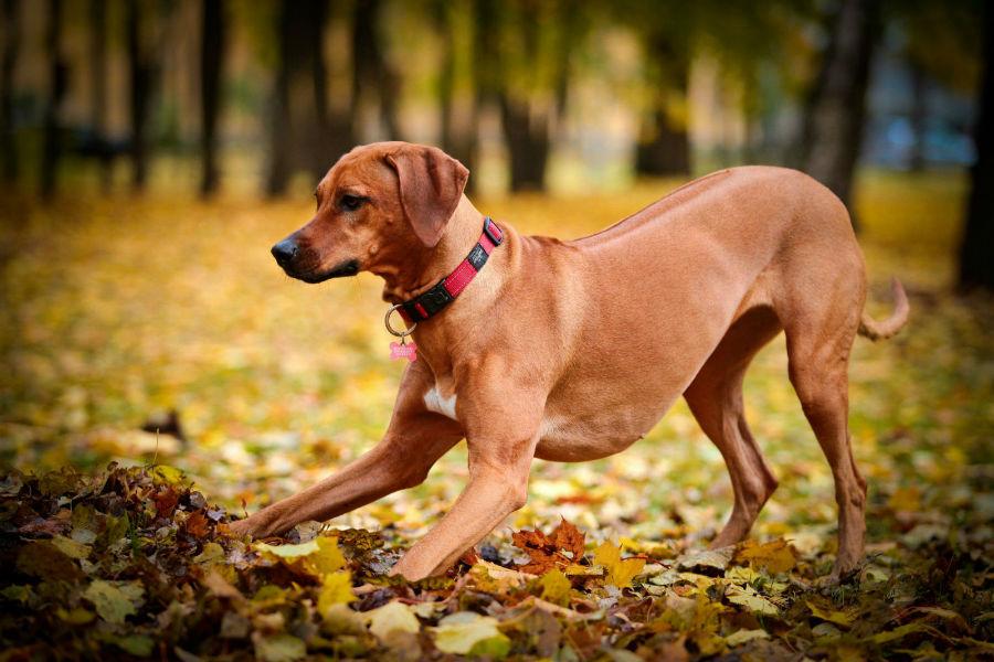 cachorro-leao-rodesia-treinamento