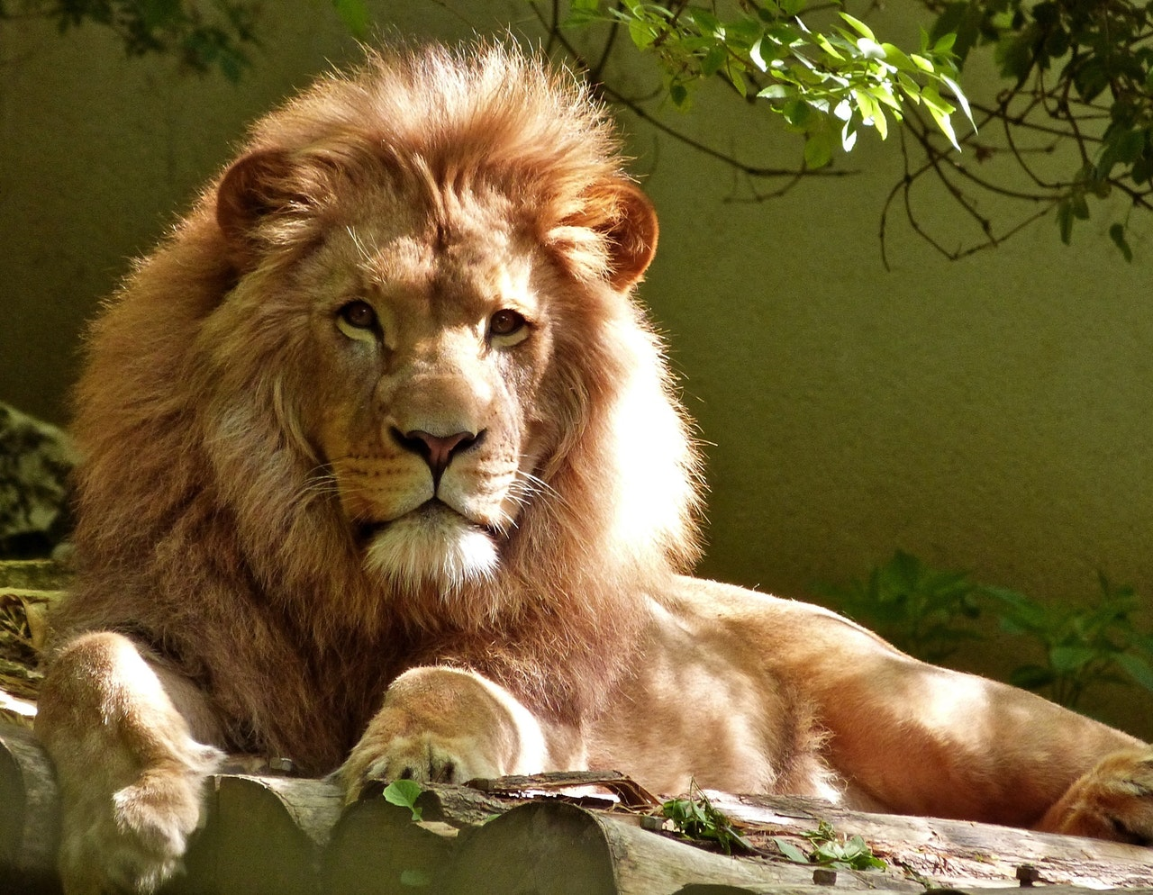 O leão é considerado o Rei da Selva pela sua fama de astuto e inteligência, entre outras características.