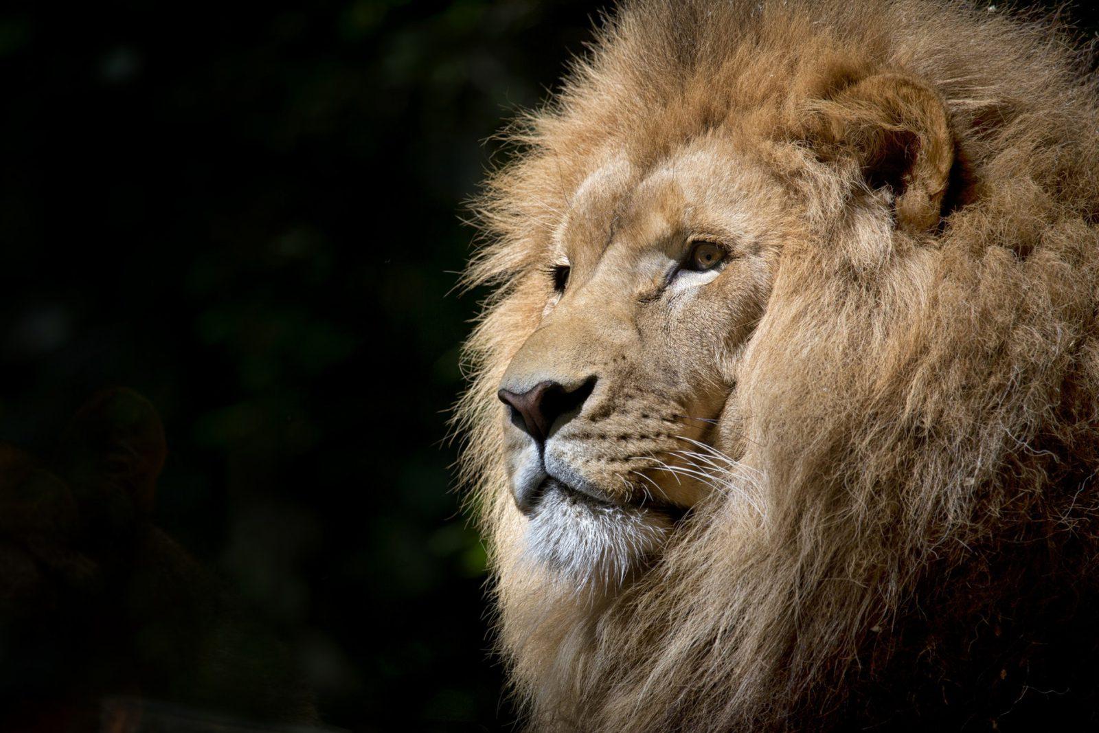 São muitas as características interessantes sobre o leão.