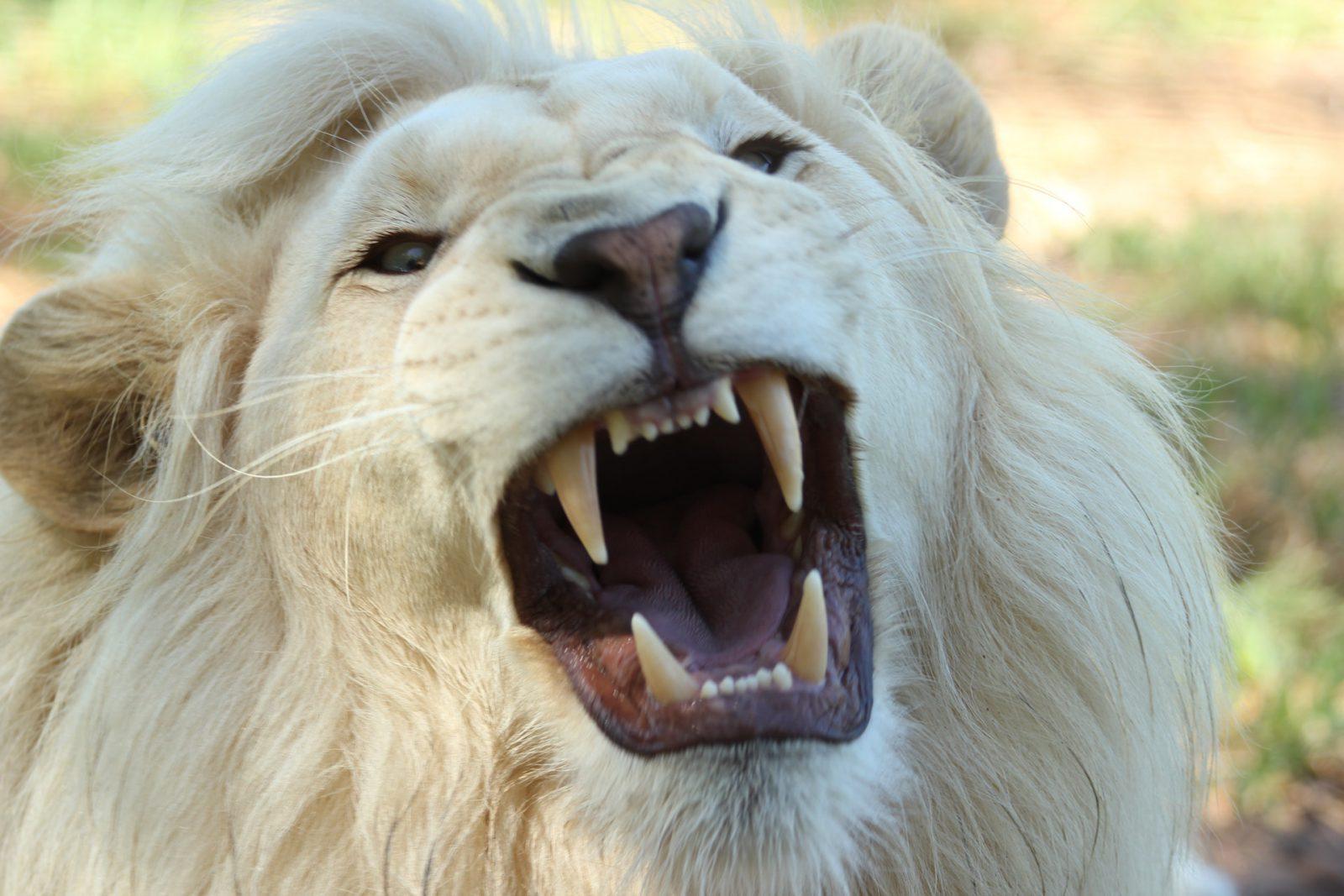 existia um leão marsupial há milênios de anos atrás.