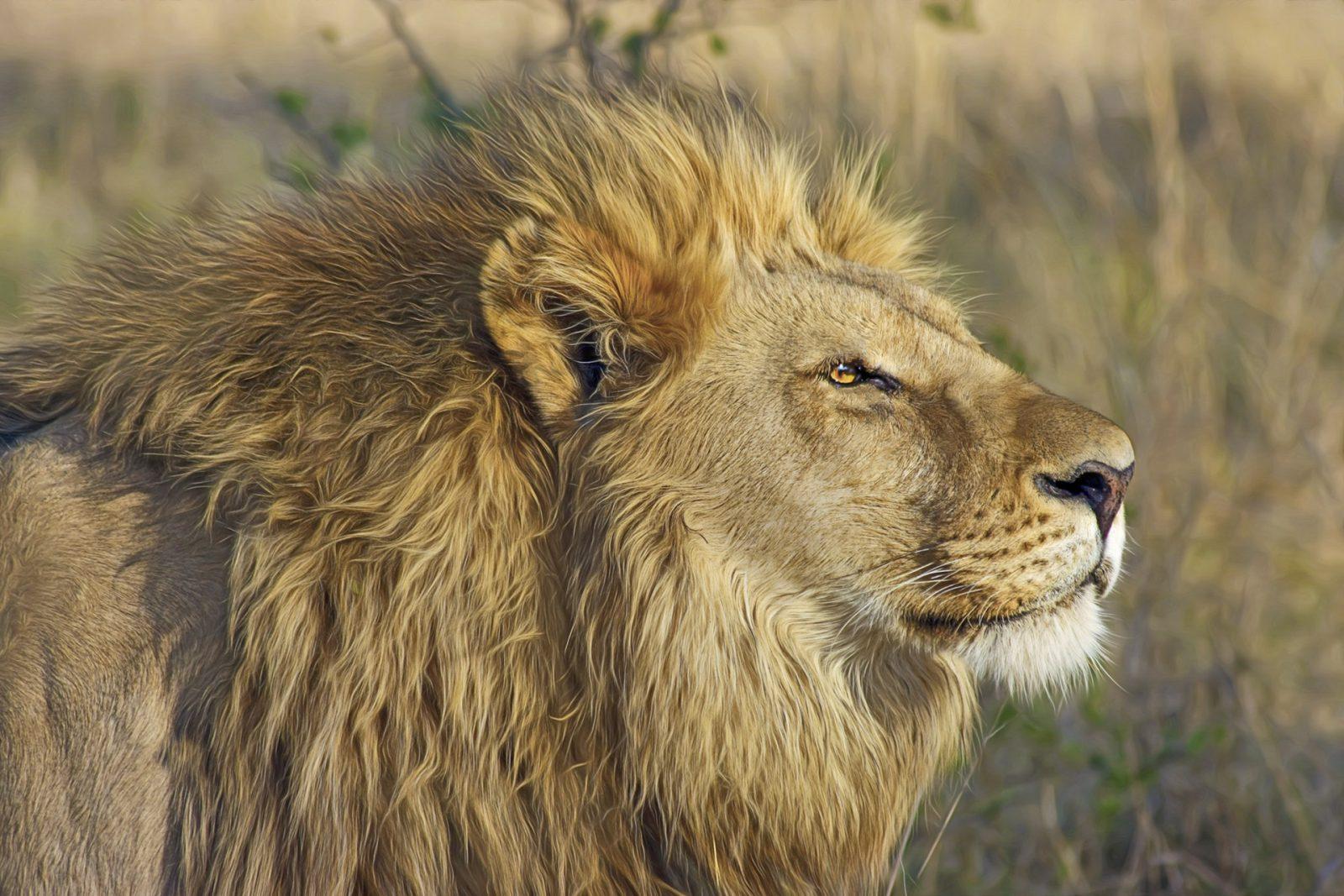 Há algumas espécies de leão.