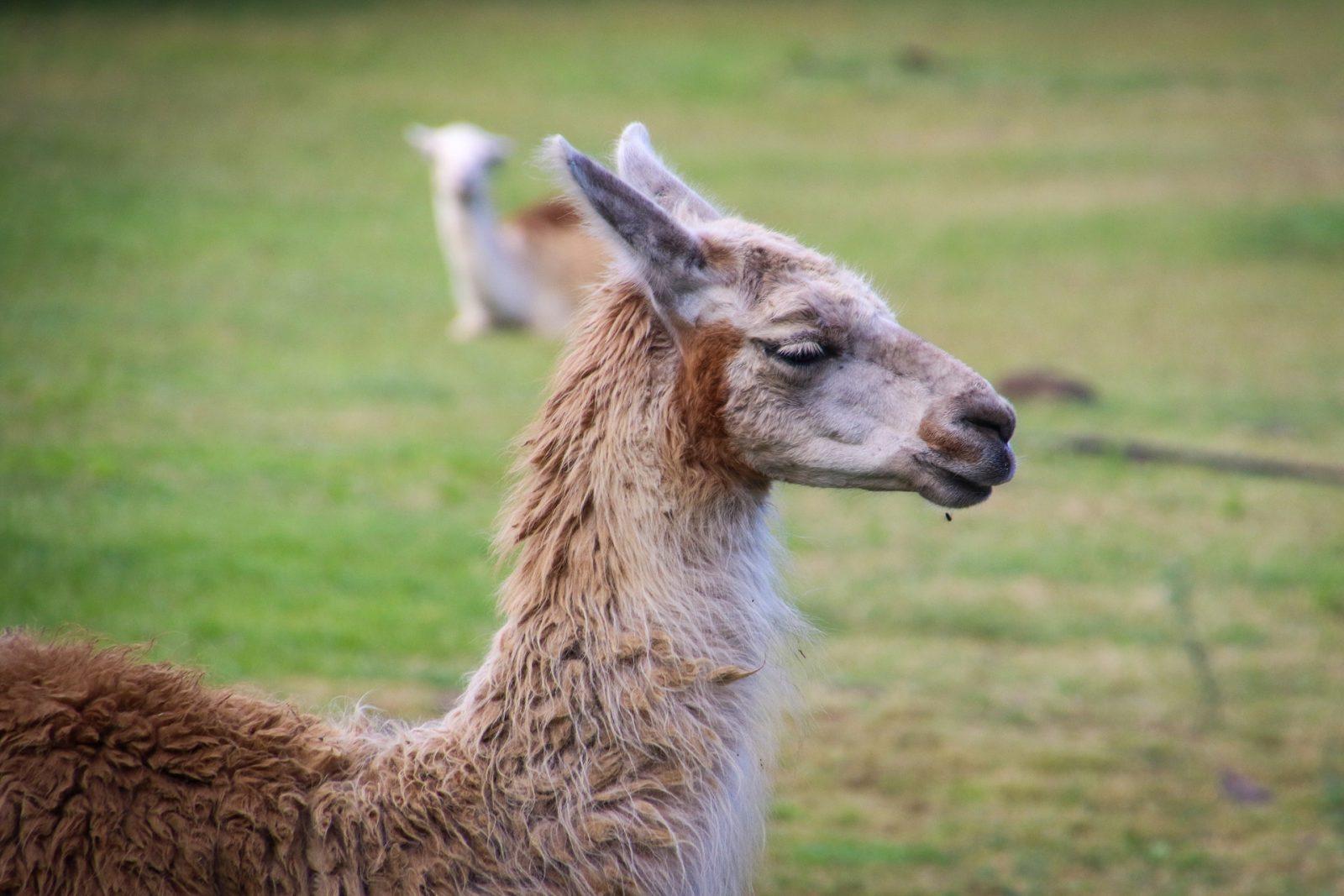 lhama: mamífero ruminante