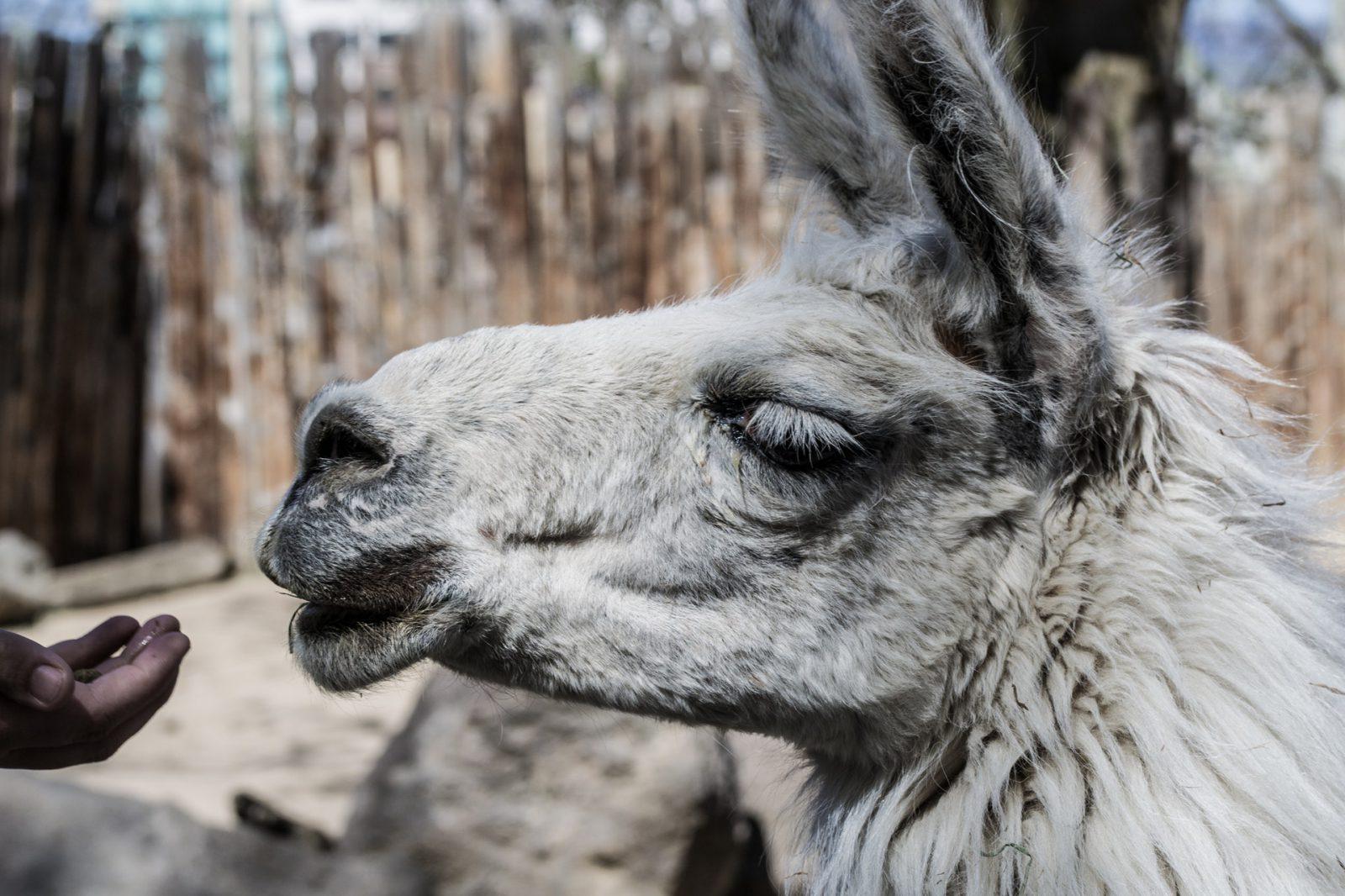 A lhama é muito comum em território andino.