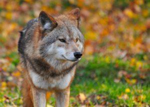 lobo: seus mistérios e curiosidades