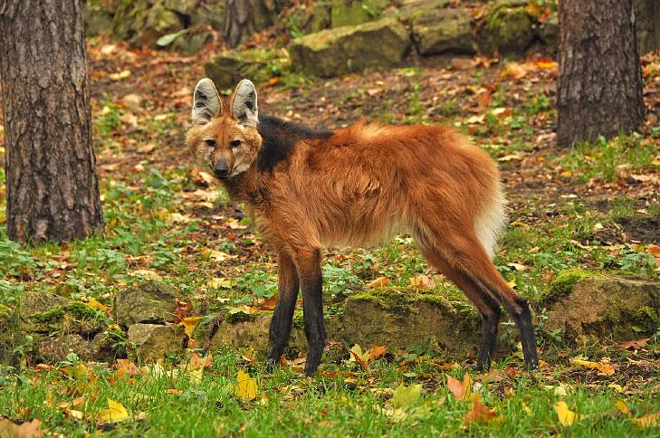 O lobo guará é um dos animais em extinção no Brasil.