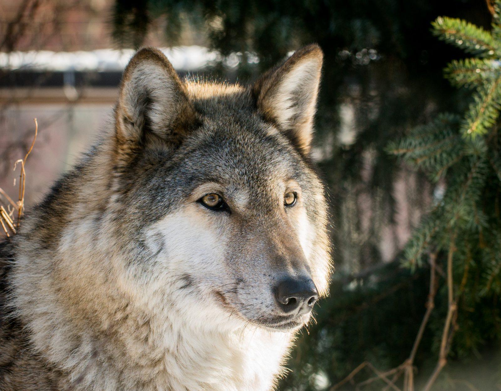 O lobo vive em sociedade hierárquica bastante definida.