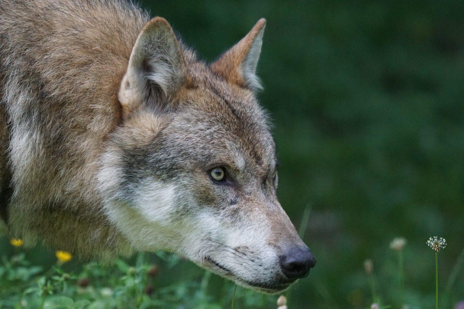 O lobo possui muitas curiosidades e associações.