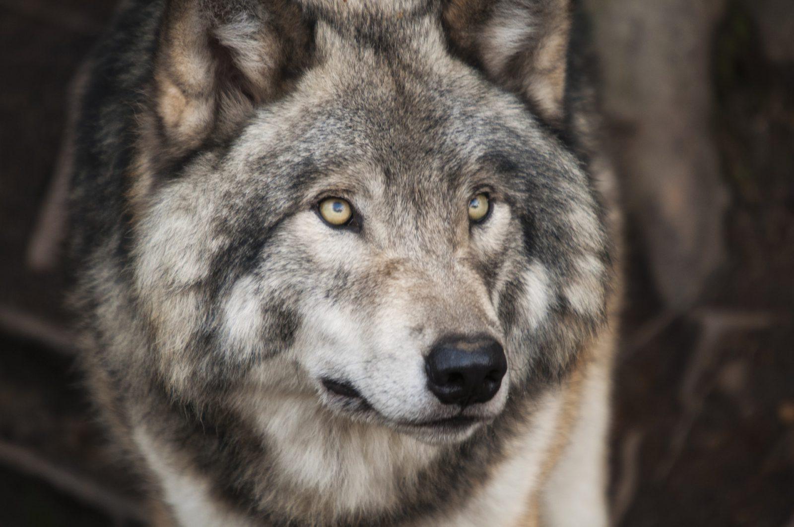 A ancestralidade do lobo é bastante antiga.