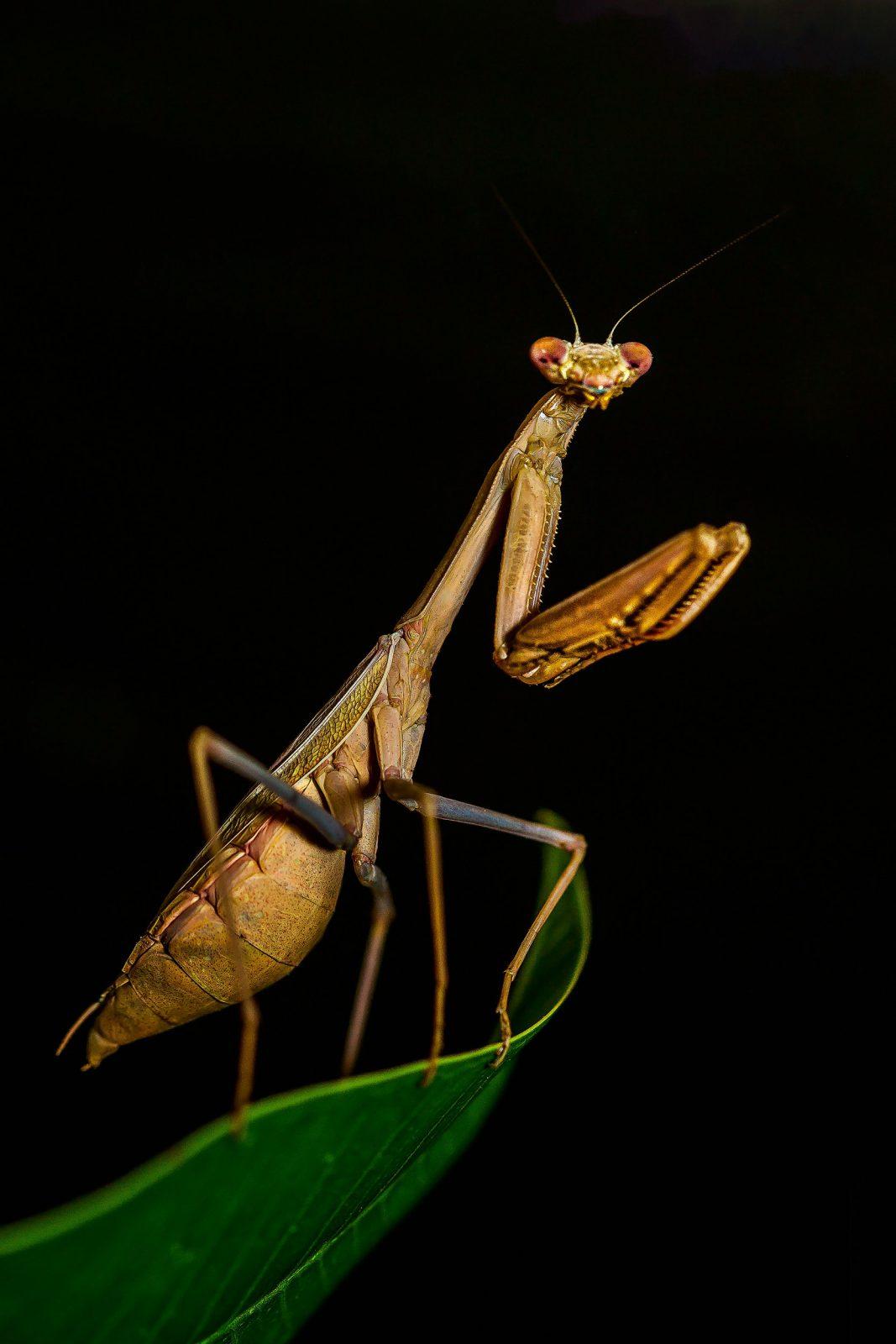 O louva deus é um dos maiores insetos que existe.