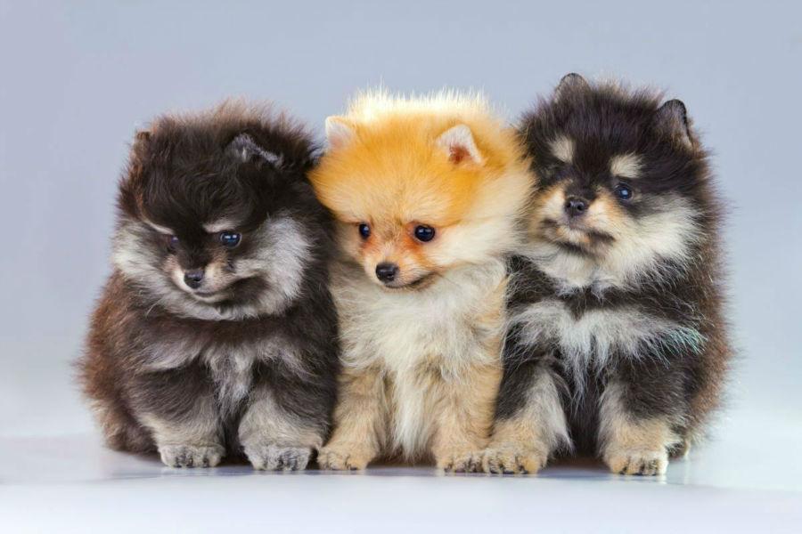 cachorro-lulu-pomerania-ambiente