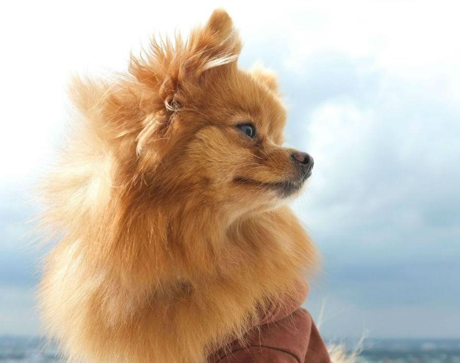 cachorro-lulu-pomerania-aparencia