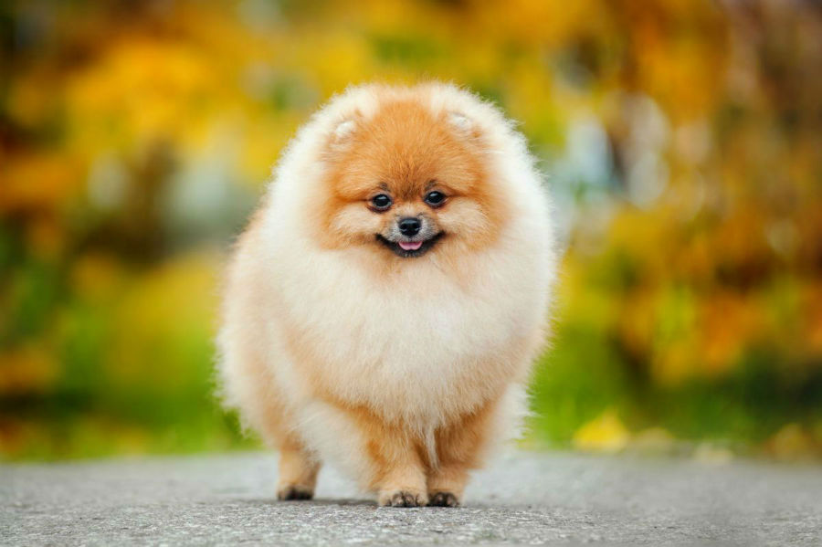 cachorro-lulu-pomerania-atividade